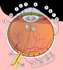 structura ochiului viziunea umană