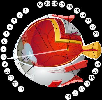 rolul organelor vederii refacerea vederii în caz de tromboză