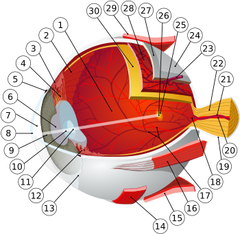 mușchii rectului ochilor cu miopie viziune îmbunătățită conform videoclipului bates