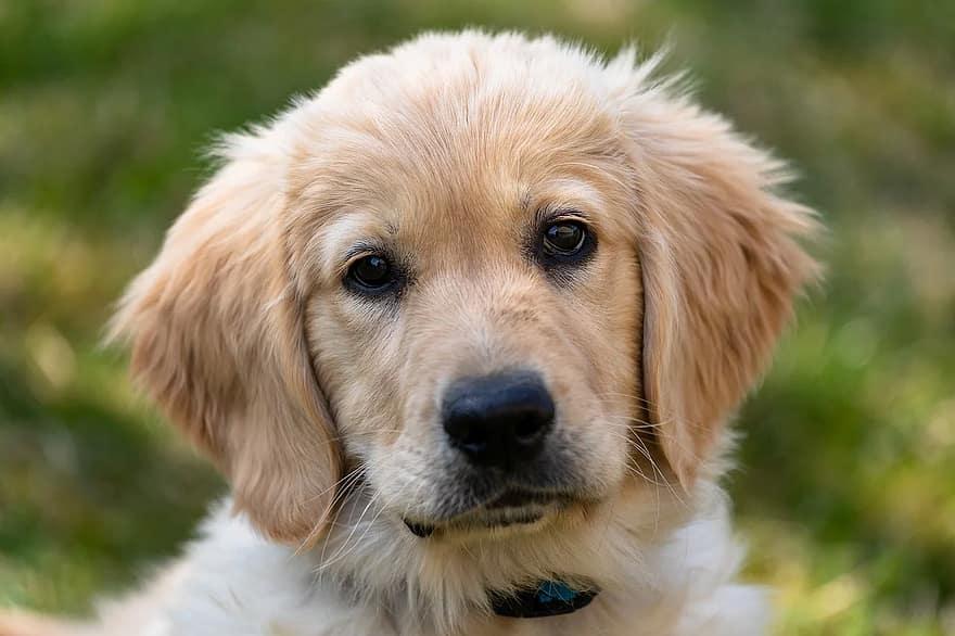 câine, Labrador, vedere frontală