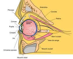 rolul organelor vederii acuitate vizuală strânsă