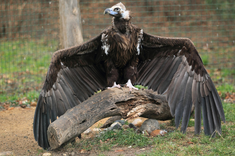 Vultur negru
